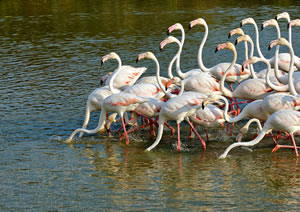 Pink Flaningos in the Camargue