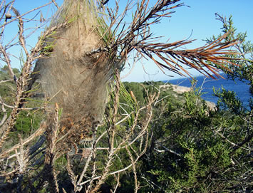 A nest of Pine Processionary caterpillars