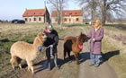 Walking Alpacas