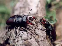 Male Stag Beetles