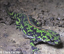 The Marbled Newt