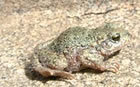 The Midwife Toad