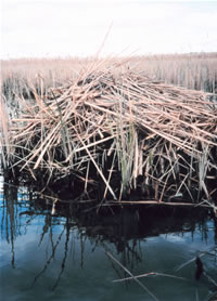 The Muskrat's lodge or hut