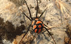 European Widow spider